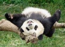 Esemplare di Panda